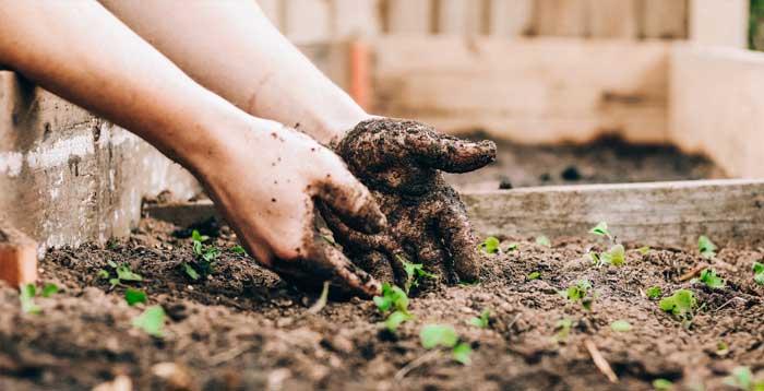Jahe dapat ditanam dalam bentuk potongan rimpang kecil